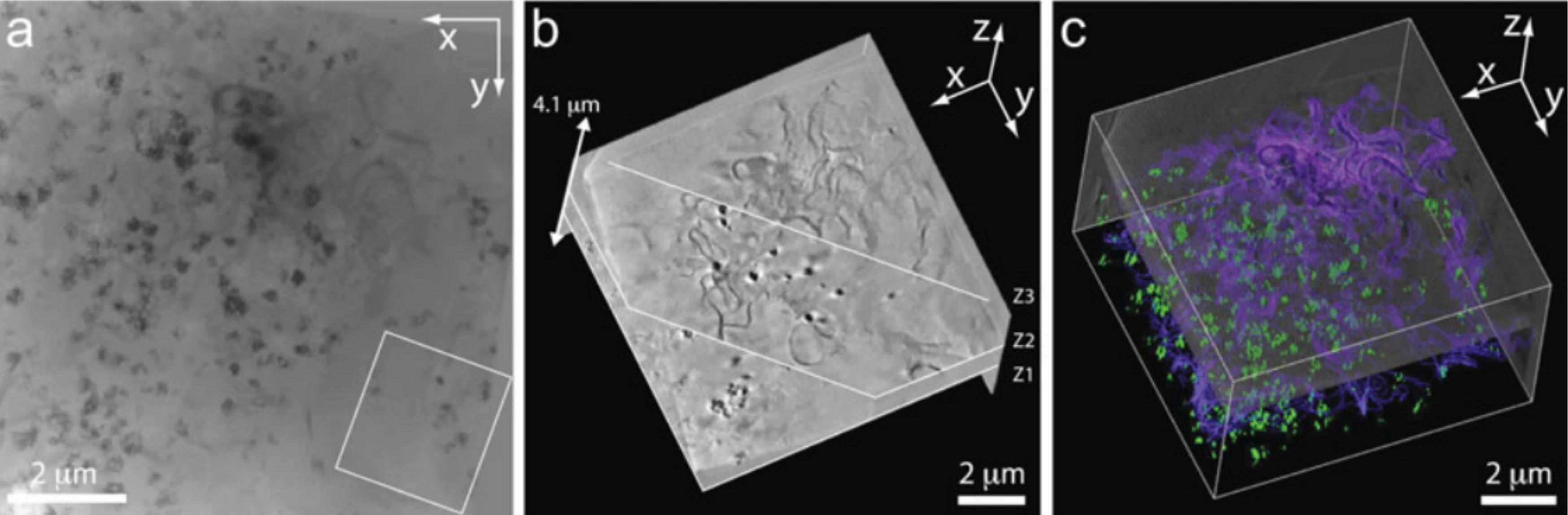 Tomogramm_makrophage_cell
